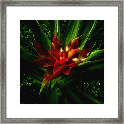 Bromeliad Framed Print by John Ater