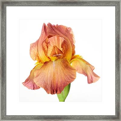 Bronze Beauty Framed Print by David and Carol Kelly