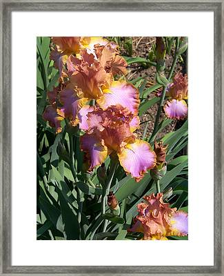 Bronze Iris Framed Print by Lois Mountz