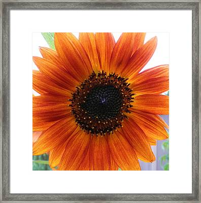 Bronze Sunflower No 2 Framed Print by Jeanette Oberholtzer