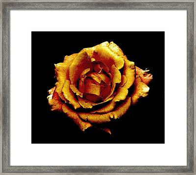 Bronzed Rose Framed Print by Angela Davies