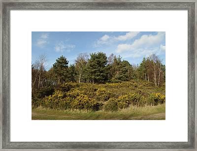 Broom Bushes On Hillside Framed Print