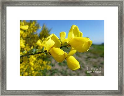 Broom In Bloom 4 Framed Print by Jean Bernard Roussilhe