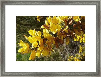 Broom In Bloom Framed Print by Jean Bernard Roussilhe