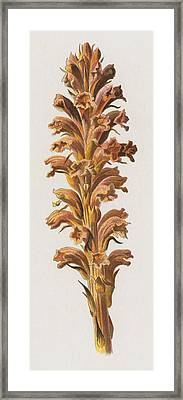 Broom Rape Framed Print by Frederick Edward Hulme