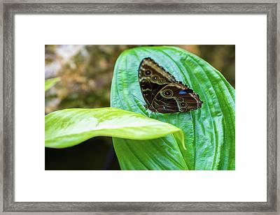 Brown And Blue Butterfly Framed Print