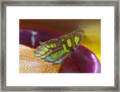Brown And Green Butterfly Framed Print