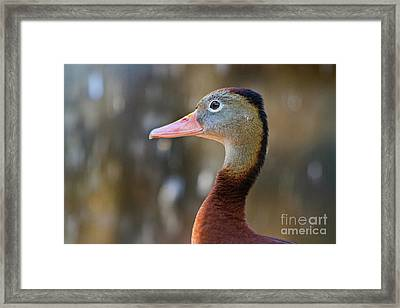 Brown And Grey Duck In Profile Framed Print