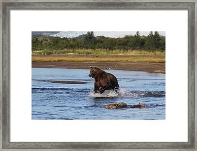 Brown Bear Chasing Fish Framed Print by David Wilkinson