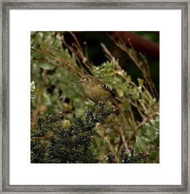 Brown Bird Framed Print by Laura Allenby