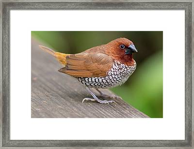 Framed Print featuring the photograph Brown Bird by Raphael Lopez