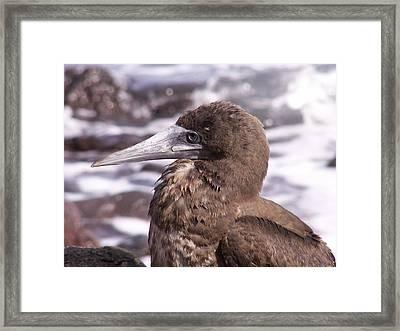 Brown Booby Framed Print by Alan Kincade