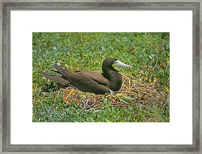Brown Booby, Galapagos Islands Framed Print