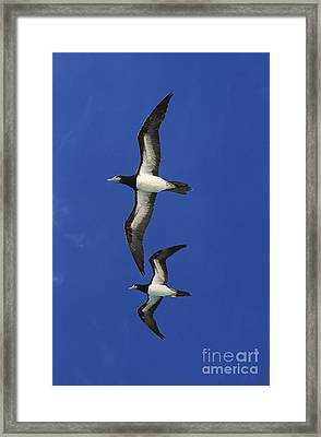 Brown Booby Sula Leucogaster Framed Print