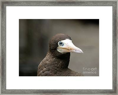 Brown Booby Framed Print