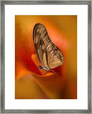 Brown Butterfly On Calia Flower Framed Print by Jaroslaw Blaminsky