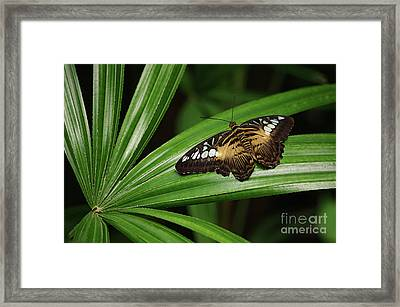 Brown Clipper Butterfly -parthenos Sylvia- On Frond Framed Print