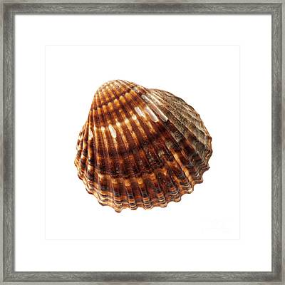 Brown Cockle Shell Framed Print