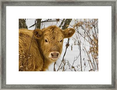Framed Print featuring the photograph Brown Cow by Ken Barrett