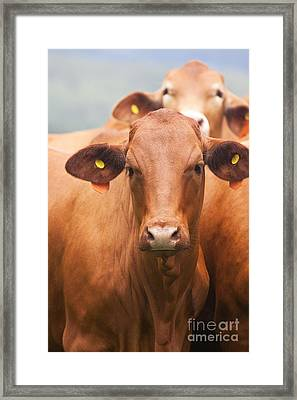Brown Cow Framed Print