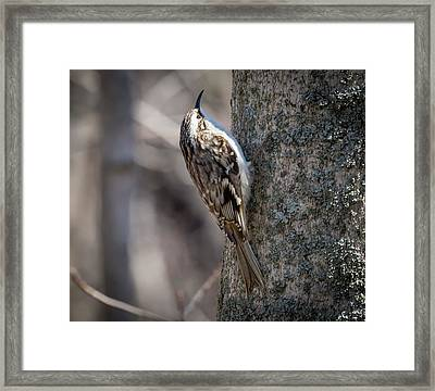 Framed Print featuring the photograph Brown Creeper  by Ricky L Jones