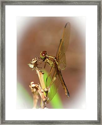 Brown Dragonfly Framed Print by Olahs Photography