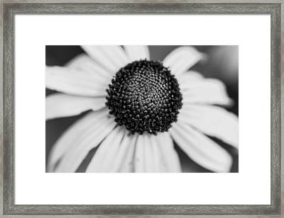 Brown Eyed Susan Framed Print