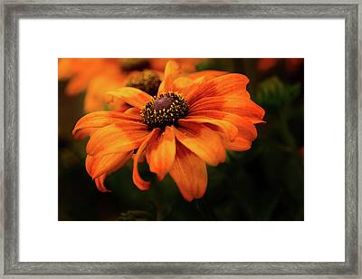 Framed Print featuring the photograph Brown Eyed Susan by Mary Jo Allen