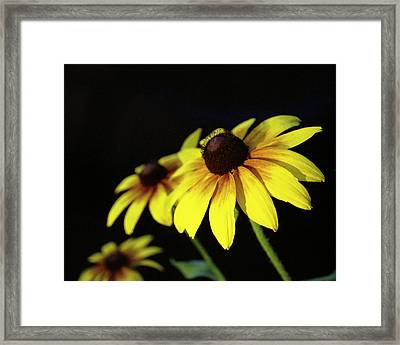 Brown Eyed Susan Framed Print by Michael Peychich