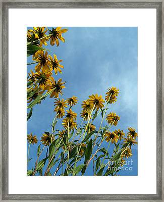 Brown-eyed Susans From Below Framed Print by Anna Lisa Yoder
