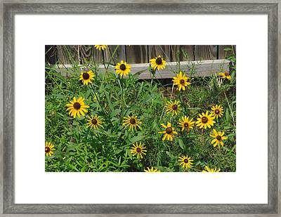 Brown Eyed Susans Framed Print by Robyn Stacey