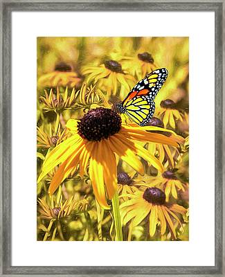 Brown Eyed Susens And The Monarch Framed Print
