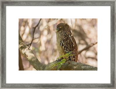 Brown Fish Owl, India Framed Print by B. G. Thomson