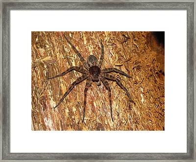 Brown Fishing Spider Framed Print by Joshua Bales