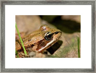 Brown Frog In The Forest - Western Oregon Framed Print by Randall Ingalls