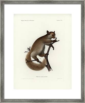 Brown Greater Galago Or Thick-tailed Bushbaby Framed Print
