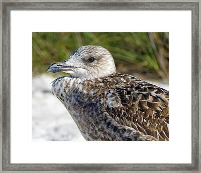 Brown Gull At Wiggins Pass Framed Print