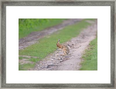 Brown Hare Cleaning Framed Print
