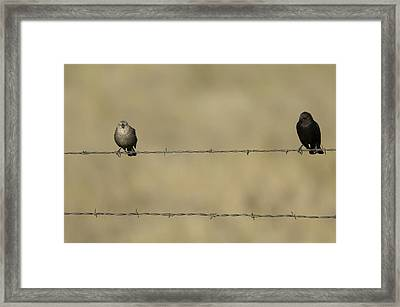 Brown-headed Cowbirds Perch On A Barbed Framed Print by Joel Sartore