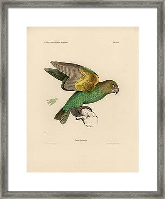 Brown-headed Parrot, Piocephalus Cryptoxanthus Framed Print