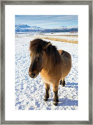 Framed Print featuring the photograph Brown Icelandic Horse In Winter In Iceland by Matthias Hauser