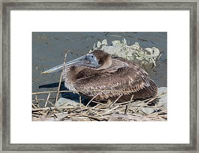Brown Pelican 3 March 2018 Framed Print