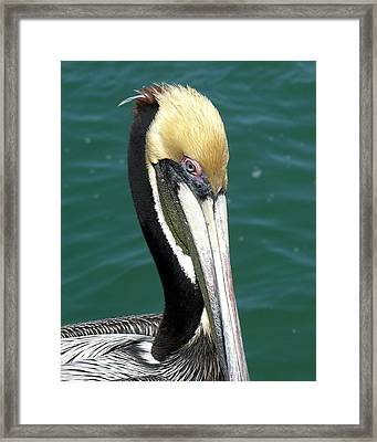 Brown Pelican  Framed Print by Allan  Hughes