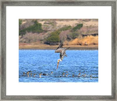 Brown Pelican Diving Framed Print by Wingsdomain Art and Photography