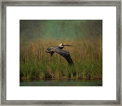 Brown Pelican Gliding Above Marshes Framed Print