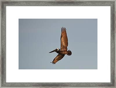 Brown Pelican In Flight No. 2 Framed Print