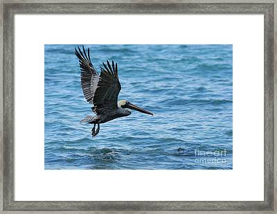 Brown Pelican In Flight Over Water Framed Print by Sami Sarkis