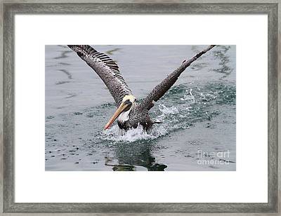 Brown Pelican Landing On Water . 7d8372 Framed Print