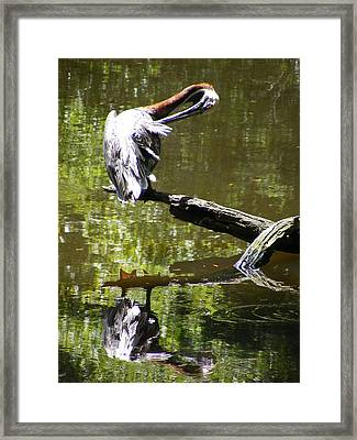 Brown Pelican On A Log Cleaning Its Feathers Framed Print by Elena Tudor