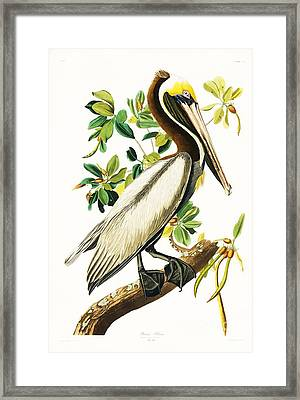 Brown Pelican Framed Print by Pg Reproductions